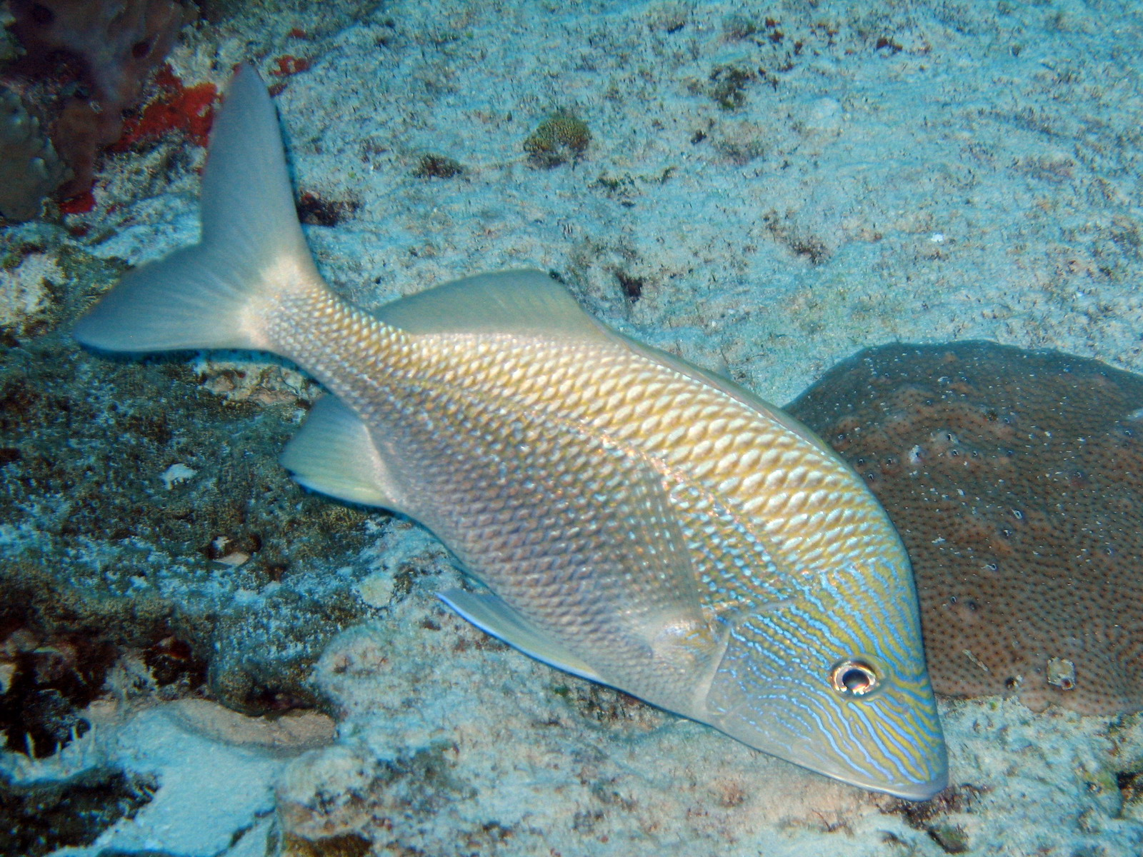 White grunt fish for Pictures of white fish